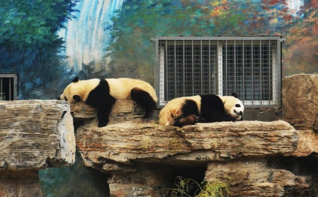 Oso panda en el zoo de Beijing