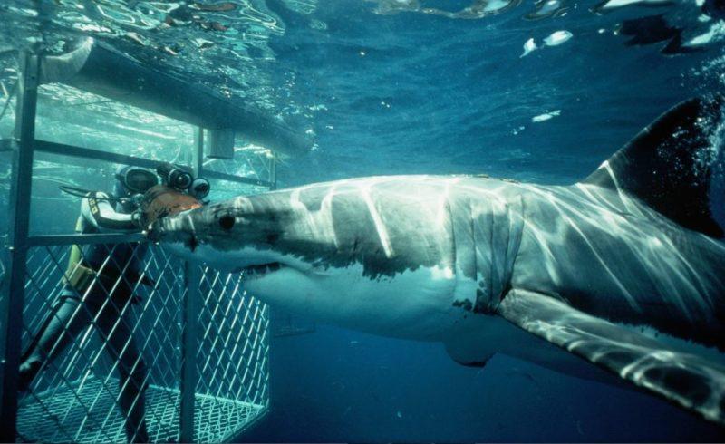 buceo tiburon blanco gansbaai